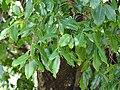 Quercus floribunda leaves 2.jpg