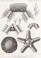 Résultats du voyage du S.Y. Belgica en 1897-1898-1899. Zoologie - Échinides et ophiures (1902) planche 4.jpg