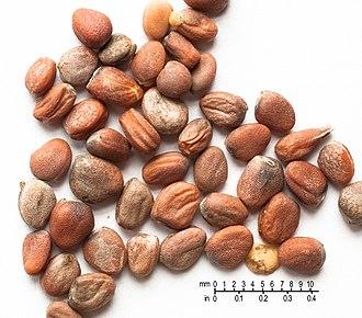 Radish - Radish seeds