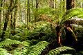 Rainforest, Otway Ranges, Victoria Australia (4889727233).jpg