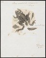 Rana esculenta - 1700-1880 - Print - Iconographia Zoologica - Special Collections University of Amsterdam - UBA01 IZ11400231.tif