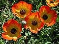 Ranunculus asiaticus4LEST.jpg