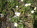 Ranunculus kuepferi02.jpg