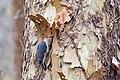 Red-bellied woodpecker (19168010140).jpg