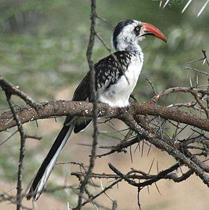 Tanzanian red-billed hornbill - Adult male in Tanzania