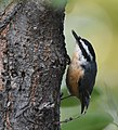 Red-breasted Nuthatch (43189508850).jpg