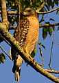 Red-shouldered Hawk at Mead Garden - Flickr - Andrea Westmoreland.jpg