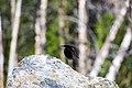Red-winged blackbird (48114553968).jpg