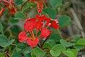 Red Bauhinia (Bauhinia galpinii) (16508741711).jpg