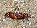Red Ghost Crabs IMG 7481.jpg