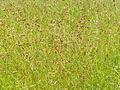 Red Grass (Themeda triandra) (13935961695).jpg