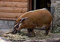 Red River Hog.jpg