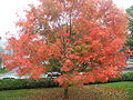 Red Tree in church yard.jpg