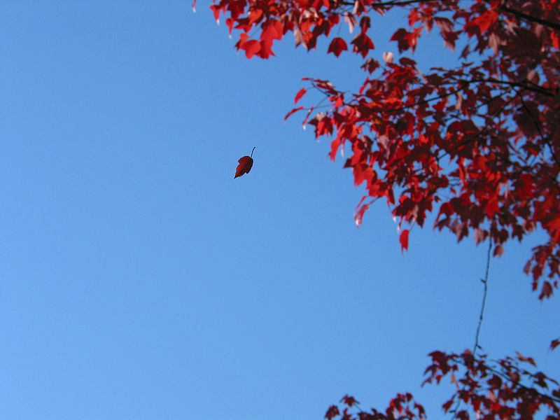 File:Red leaf in mid fall.jpg