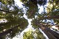 Redwood Forest (2448583728).jpg