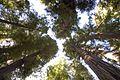 Redwood Forest (2448583728).jpg