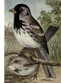 Reed-harriss-sparrow.png