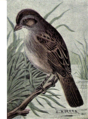 Reed-swamp-sparrow.png