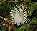 Reina de la Noche flor.jpg