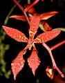 Renanthera bella Orchi 030.jpg
