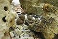 Reptiland-Martel 18 Lampropeltis getulus californiae.JPG