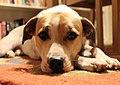 Resting dog face (31037176525).jpg