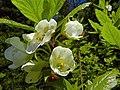 Rhododendron albiflorum (1).jpg