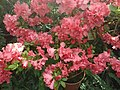 Rhododendron cv. Kiev Grishko 10.jpg