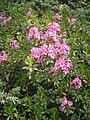 Rhododendron hirsutum RHu 001.jpg