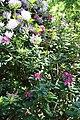 Rhododendronpark Bremen 20090513 202.JPG