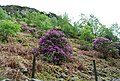 Rhododendrons on the hillside - geograph.org.uk - 1335412.jpg