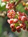 Ribes petraeum kz03.jpg