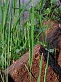Rice-grow-near-roadside-from-koovery.jpg