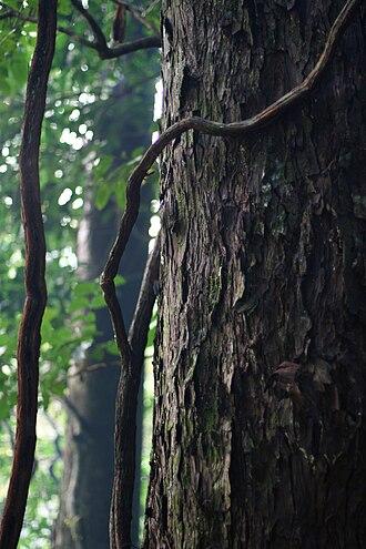Dacrydium cupressinum - Trunk of a rimu with descending rātā (Metrosideros) roots
