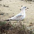 Ring-billed Gull 1st winter (16417465056).jpg