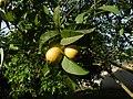 Ripe common guavas.jpg