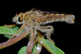 Robber Fly (Daspletis placodes) (6896295086).jpg