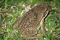 Rococo Toad (Rhinella schneideri) - Flickr - GregTheBusker (2).jpg