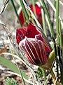 Romulea monadelpha Hantham 06.jpg