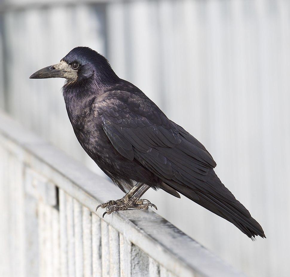 Rook-Corvus frugilegus