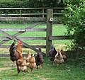 Rooster and hens on a footpath in Claverley, Shropshire, England.jpg