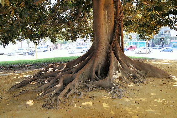 Roots of tree in Cartagena.jpg