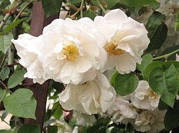 Rosa 'Adelaide d'Orleans'