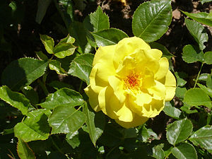 Rosa 'Friesia' Kordes 1973 RPO1.jpg