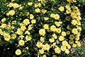 Rosa 'Harison's Yellow'.jpg