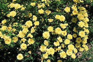 Rosa 'Harison's Yellow' - Image: Rosa 'Harison's Yellow'