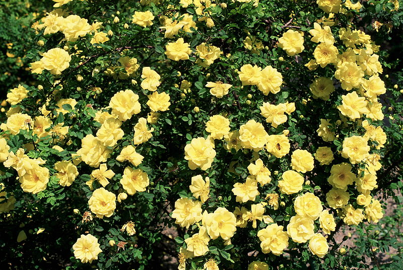 jardim rosas amarelas:Texas Yellow Rose Flowers