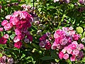 """Rosa """"Dinky"""" o VELheav. 01.jpg"""