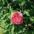 Rosa Benjamin Britten 2019-06-04 5994.jpg