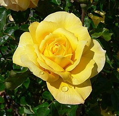 Rosa Gold Glow 2.jpg